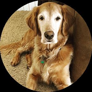 Leroy - golden retriever dog